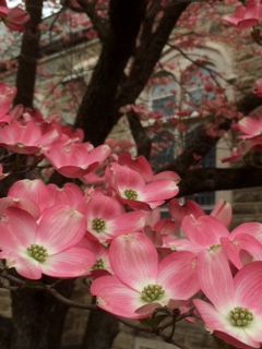 Dogwood flowers at MV